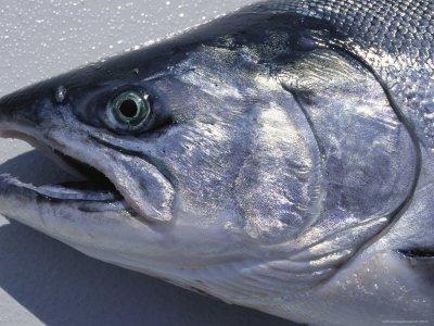 king salmon head.jpg