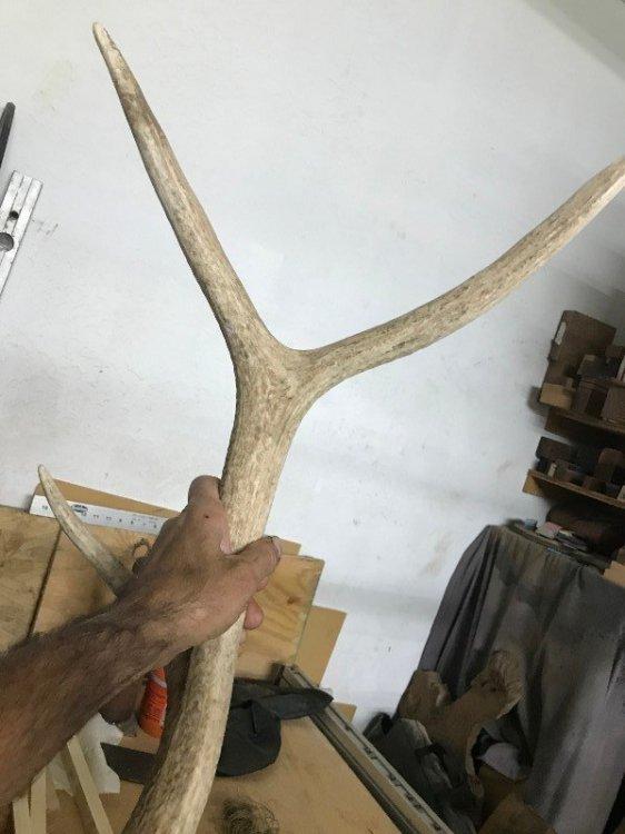 Elk Antler (2).JPG