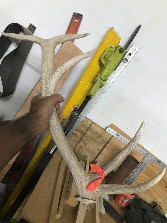 Elk Antler (1).JPG