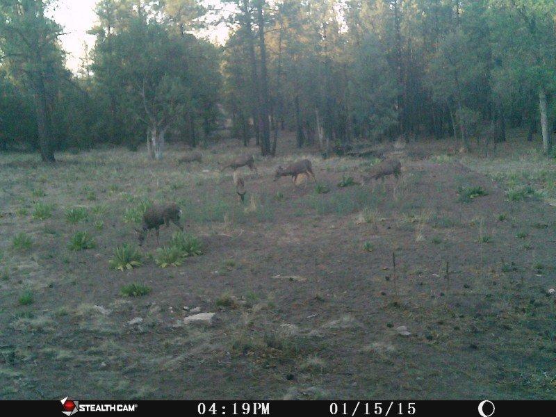 Deer on House pad.jpg